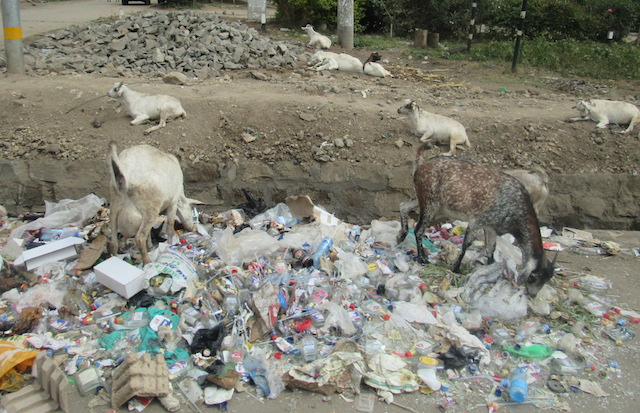 Goats help to clear up trash in the rural streets.